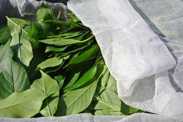 Яблочные листья, разложенные для высушивания. Прикрыты марлей