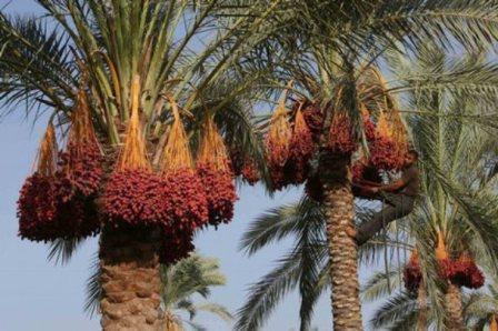 Финиковая пальма с гроздьями сладких фиников