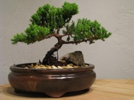 derevo-bonsaj