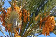 Финиковая пальма с плодами фиников