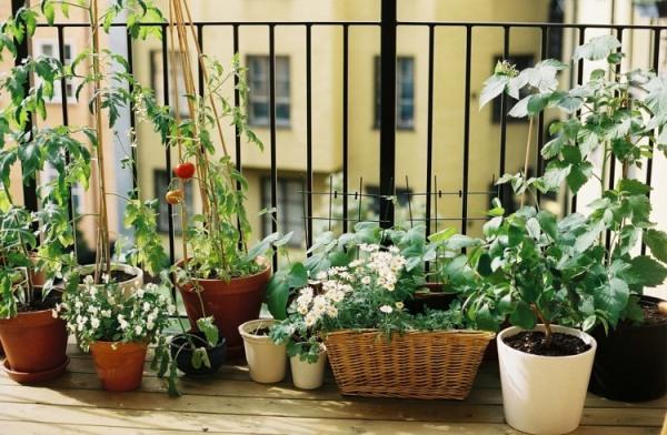 ovoshhi-na-balkone17