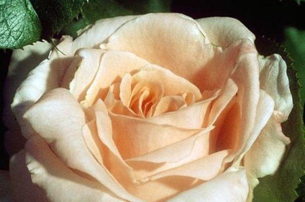 roza-ijun