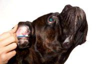 Ветеринар чистит собачье ухо