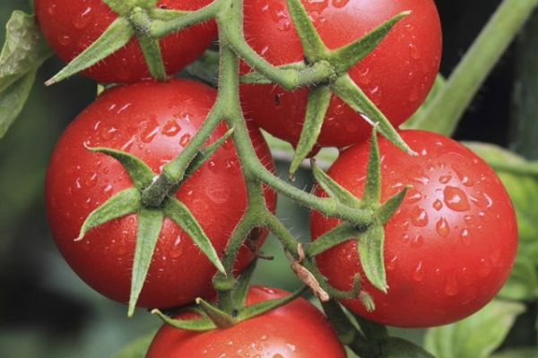 polza-i-vred-pomidorov01