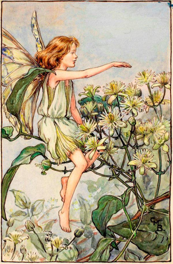 Фея ломоноса виноградолистного, или радости путешественника