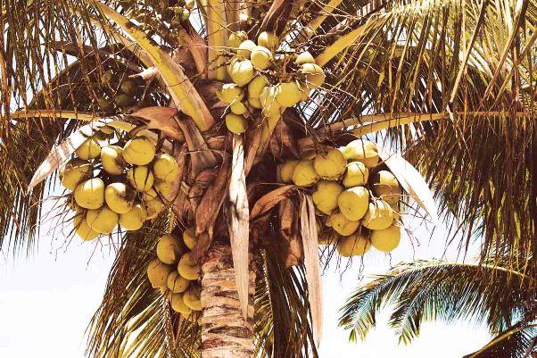 Кокосовая пальма с плодами кокосами